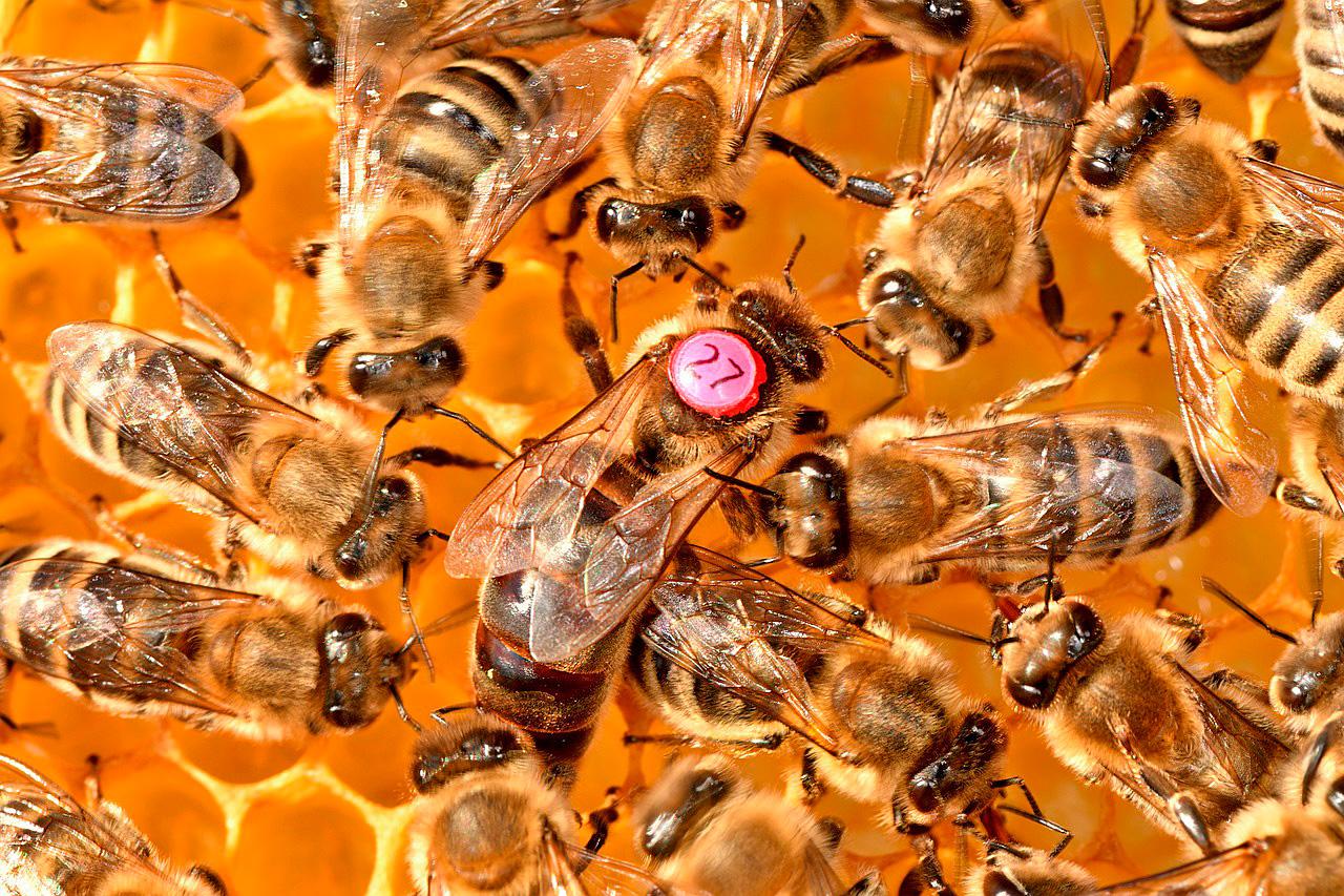Пчелиная матка и ее роль в улье